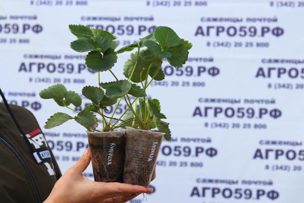 земляника садовая купчиха описание фото